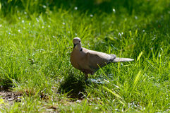 Wild forrest pigeon standing on one leg looking at the camera. In fresh green grass on a sunny day Royalty Free Stock Photography