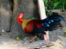 Wild fowl sri lankan jungle fowl royalty free stock photography