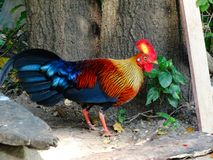 Wild fowl sri lankan jungle fowl stock photo