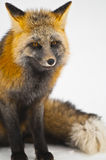 Wild Fox. Young Wild Fox   over white background Stock Photo