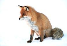 Wild fox Stock Photo