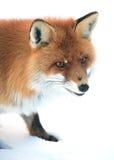 Wild fox Stock Photos