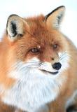 Wild fox Royalty Free Stock Photo