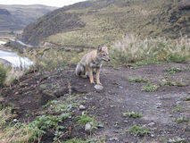 Wild Fox. Picture of a wild fox taken in Torres Del Paine National Park, Chile stock photos
