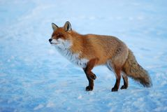 Wild fox stock images