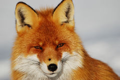 Wild fox Royalty Free Stock Images