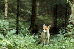 Wild fox. Caught on camera, during a mountain trip Royalty Free Stock Photography