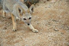 Wild fox of Chile's Atacama Desert. A wild wary fox in Chile's Atacama Desert region Royalty Free Stock Photos