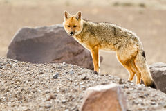 Wild Fox Cotopaxi National Park Ecuador Royalty Free Stock Photo