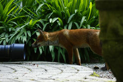 Wild Fox Cub Royalty Free Stock Photography