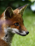 Wild Fox Cub Royalty Free Stock Image