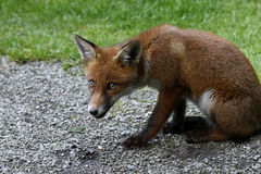 Wild Fox Cub Stock Photo
