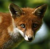 Wild Fox Cub Royalty Free Stock Image