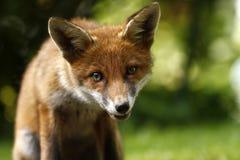 Wild Fox Cub Stock Photos