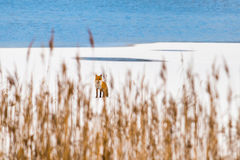 Wild fox on frozen lake Royalty Free Stock Images