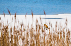 Wild fox on frozen lake Stock Images