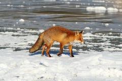 Wild fox on frozen lake Royalty Free Stock Photos