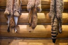 Wild fox fur on wooden wall. Hunting trophy concept. Interior of the hunter`s house decorated with fur of wild animal. Animal protection concept Stock Photo