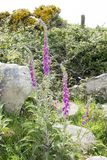 Wild fox glove plants Royalty Free Stock Images