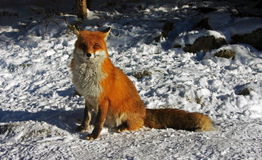 Wild fox looking at the photographer Stock Photo