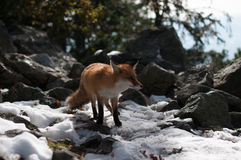 Wild fox Stock Photography