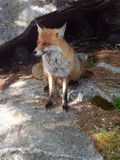 Wild fox. In natural environment Royalty Free Stock Photos