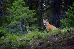 Wild Fox Near Den in Wilderness Animals. Tail and ears Stock Photo