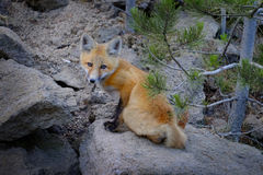 Wild Fox Near Den in Wilderness Animals. Tail and ears Stock Images