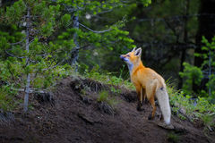 Wild Fox Near Den in Wilderness Animals. Tail and ears Royalty Free Stock Images