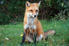 Wild fox in the park Stock Photo