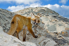 Wild fox on a peak rock look in camera Stock Photo