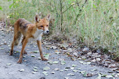Wild fox of Pripyat Stock Photo