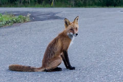 Wild fox on a road Stock Images