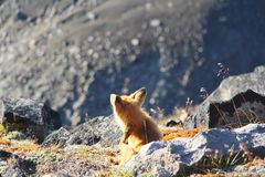 Wild fox scratches his head by stone on on the slope of hill royalty free stock images
