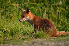 Wild fox sitting in the grass. Portrait of a wild fox sitting in a grassy field Royalty Free Stock Images
