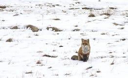 Wild fox on snow. Red fox sitting on snow royalty free stock image