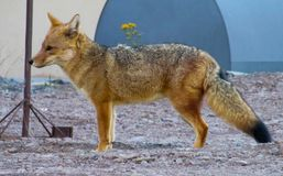 Wild fox on the street. Wild fox standing on the city street Royalty Free Stock Photos