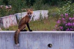 Wild fox in urban area Stock Images