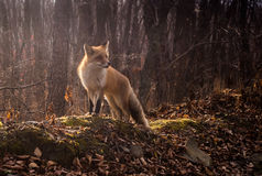 Wild fox. We walked in forest and saw fox, she dont scare of people, and she very friendly Stock Image