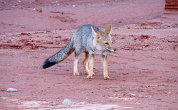 Wild fox walking in desert Stock Photo