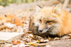 Wild fox Stock Image