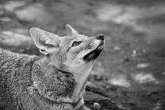Wild fox at the zoo royalty free stock photos