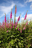 Wild foxgloves. Stock Photos
