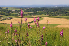 Wild foxgloves, dorset landscape and fields Royalty Free Stock Photography