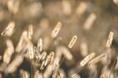 Wild Foxtail Grass Background at Autumn Sunrise Stock Photo