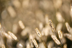 Wild Foxtail Grass Background at Autumn Sunrise Stock Image