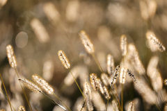 Wild Foxtail Grass Background at Autumn Sunrise Royalty Free Stock Photography