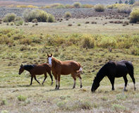 Wild and free. Three wild horses grazing and running in western colorado field royalty free stock photo