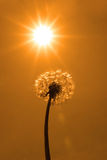 Wild free dandelion in heatwave. A beautiful wild dandelion flower in the countryside on a hot day Royalty Free Stock Photos