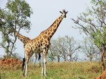 Wild free giraffes savanna safari Uganda Africa. Two African giraffes freely roaming the plains of Murchison Falls National Park, Uganda, Africa. They were busy Royalty Free Stock Photography